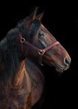 Beautiful bay horse standing in the stable door Royalty Free Stock Images