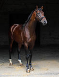 Beautiful bay horse standing in the stable door Royalty Free Stock Photos