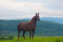 Beautiful bay horse Royalty Free Stock Photo