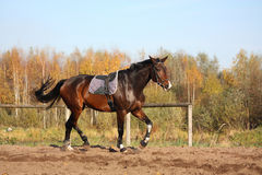 Beautiful bay horse trotting in autumn Royalty Free Stock Photography