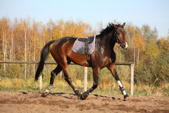 Beautiful bay horse trotting in autumn Stock Photos