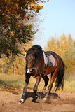 Beautiful bay horse trotting in autumn Royalty Free Stock Photo