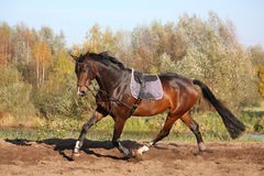 Beautiful bay horse trotting in autumn Stock Photography