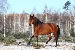 Beautiful bay horse trotting free Royalty Free Stock Image