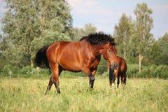 Beautiful bay horse walking at the pasture Royalty Free Stock Image