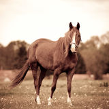 Beautiful bay mare in a meadow Royalty Free Stock Images