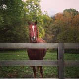 Bay mare standing by fence Stock Photos