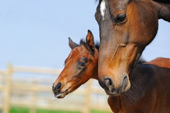Beautiful bay newborn foal with mother Royalty Free Stock Photos
