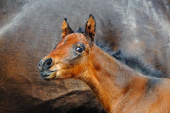 Beautiful bay newborn foal.Portrait Royalty Free Stock Image