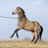 Beautiful bay quarter horse prancing Royalty Free Stock Image
