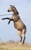 Beautiful bay quarter horse prancing Stock Photography
