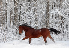 Beautiful bay spanish stallion enjoy the snow woods Stock Images