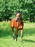 Beautiful bay sportive  mare in move Royalty Free Stock Photography