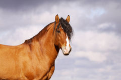 Beautiful bay stallion Stock Photo