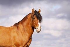 Beautiful bay stallion. Portrait on dramatic cloudy skies background Stock Photo