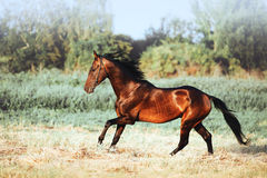 Beautiful bay stallion with long mane galloping. The horse in motion running across the field on a neutral background royalty free stock photos