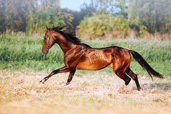 Beautiful bay stallion with long mane galloping. The horse in motion running across the field on a neutral background stock image