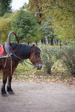 Beautiful bay stallion Royalty Free Stock Photo