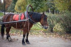 Beautiful bay stallion Royalty Free Stock Images