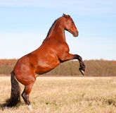 Beautiful bay stallion standing in the meadow Royalty Free Stock Image