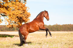 Beautiful bay stallion standing in the meadow. Royalty Free Stock Images