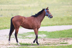 Beautiful bay stallion Thoroughbred breed Stock Images
