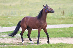 Beautiful bay stallion Thoroughbred breed Royalty Free Stock Photos