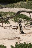 Penguin on Boulders Beach. This beautiful beach is the home of over 2,000 endangered African penguins, and one of the few mainland penguin colonies in the world royalty free stock photos