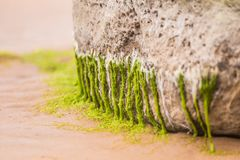 A beautiful beach landscape with a green moss covered stones. Algae growing on seaside rocks. Royalty Free Stock Images