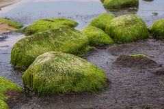 A beautiful beach landscape with a green moss covered stones. Algae growing on seaside rocks. Colorful autumn landscape at the Baltic Sea Stock Images