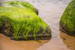 A beautiful beach landscape with a green moss covered stones. Algae growing on seaside rocks. Royalty Free Stock Image