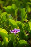 Ipomoea pes-caprae, Green Leafs Goat`s Foot Creeper on the beach stock photography