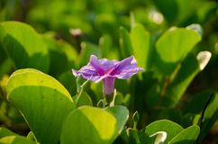 Ipomoea pes-caprae, Green Leafs Goat`s Foot Creeper on the beach. Beautiful beach morning glory on a morning sunshine day. Scientific Name : Ipomoea Pes-caprae stock photography