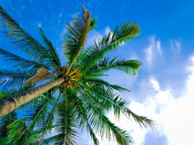 Beautiful Beach Palm with Blue Sky and Clouds Royalty Free Stock Image