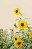 Beautiful beach sunflowers Stock Image