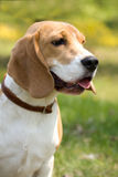 Beautiful Beagle Royalty Free Stock Photography