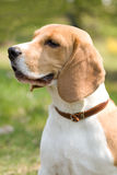 Beautiful Beagle Stock Images