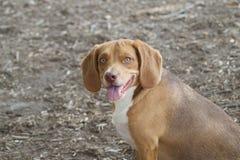 The Beautiful Beagle royalty free stock photos