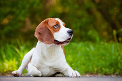 Beautiful beagle dog lying down Stock Images
