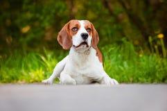 Beautiful beagle dog lying down Royalty Free Stock Photos