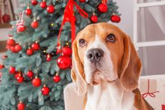 Beautiful beagle dog near New Year tree on Christmas eve. Mannerly beagle dog sits near a New Year tree with red decorations on Christmas eve, close-up studio Stock Photos