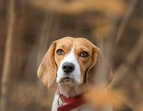 Beautiful Beagle dog portrait in forest. Beautiful Beagle dog with red collar portrait in forestn Stock Photography
