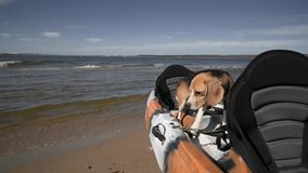 A beautiful Beagle dog stands in a kayak that is moored to the shore. Sunny summer day, front view, slow motion. HD stock video