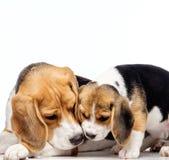 Beautiful beagle family Royalty Free Stock Photo