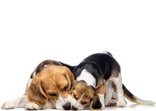 Beautiful beagle family Royalty Free Stock Image