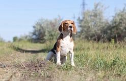 A beautiful Beagle hound dog Stock Image