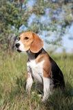 A beautiful Beagle hound dog Royalty Free Stock Photography