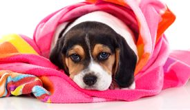 Beautiful beagle puppi brown and black royalty free stock images