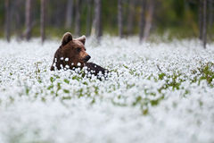 Beautiful bear among the cotton grass Stock Photos