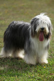 Beautiful bearded collie looking at you Royalty Free Stock Image
